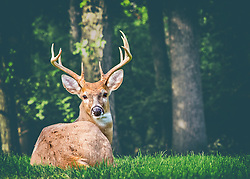 A deer hears me approaching and is curious enough to turn around to keep an eye on me