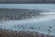 A flock of herons foraging for food in the shallow waters of the Sea Of Galilee, Israel