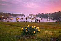 This bunch of daffodils is a perennial favorite target at Mackerel Cove on Bailey Island. I got lucky with some beautiful light, a warm glow from the west at sunset, and framed the photo to include the entire cove.