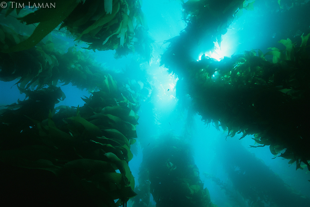 View of giant kelp forest with surface sunlight.