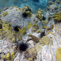 Central America, Saint Vincent and the Grenadines, Bequia. Moray eel and urchins seen snorkeling in the island of Bequia, Saint Vincent and the Grenadines.