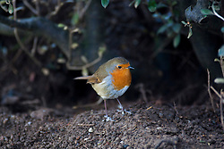 Robin at Edinburgh Zoo..©Michael Schofield.