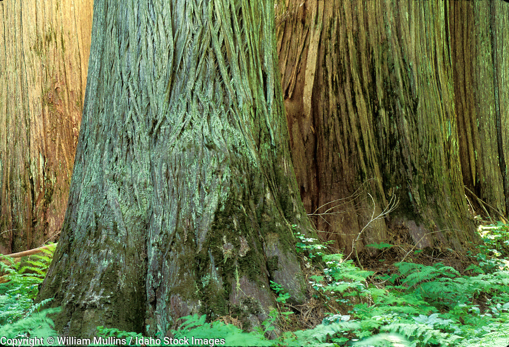 THIS PHOTO IS AVAILABLE FOR WEB DOWNLOAD ONLY. PLEASE CONTACT US FOR A LARGER PHOTO. Idaho. Id. Panhandle NF. Old - growth Western red cedar (500+yrs) (Thuja plicata) Hobo Cedar Grove.