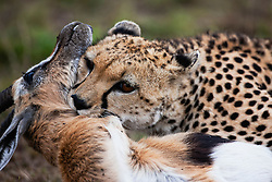 A close-up portrait of a male cheetah (Acinonyx jubatus) killing a Thompson's gazelle by the throat, Masai Mara, Kenya,Africa