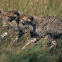 Africa, Kenya, Masai Mara Game Reserve, Three young Cheetah cubs (Acinonyx jubatas) walking across savanna