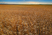 Wheat field<br /> Hodgeville<br /> Saskatchewan<br /> Canada