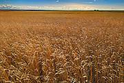 Wheat field<br /> Hodgeville<br /> Saskatchewan<br /> Canada