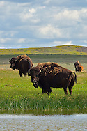 Bison at a wetland pond in the Great Plains of Montana at American Prairie Reserve. South of Malta in Phillips County, Montana.