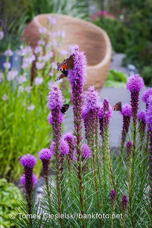 Liatris spicata covered by butetrfly