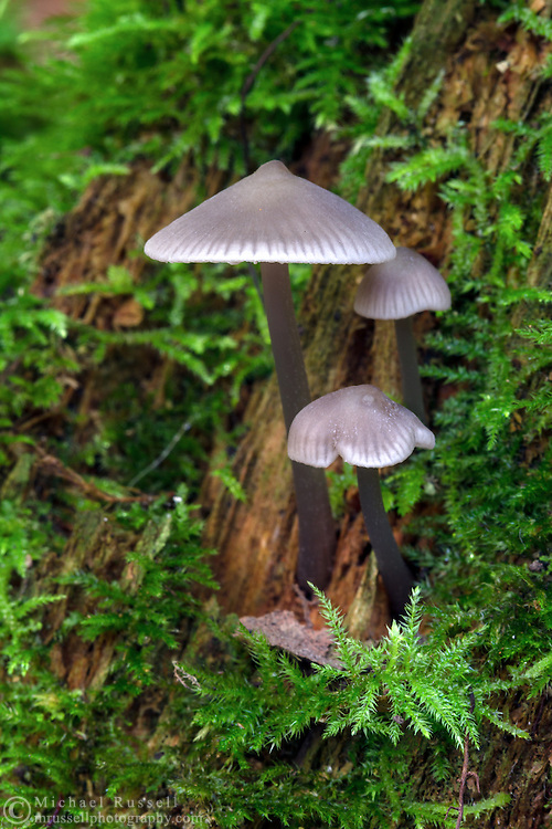 Trio of mushrooms growing on a mossy stump at Campbell Valley Park in Langley, British Columbia, Canada
