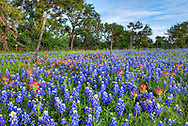 Bluebonnets and Indian paintbrush along Farm Road 1323, Gillespie County, Texas.