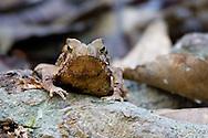 Treefrog, Peruvian Amazon rainforest