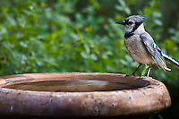"Blue Jay (Cyanocitta cristata) A 12"" bird.  Crested; black collar and necklace; wings and tail spotted with white; blue above and grayish below.   This Blue Jay is enjoying a bird bath in the suburbs, Colorado."