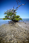 A lonely mangrove tree stands over an oyster bar of Coon Key in the 10,000 islands off Goodland, FL.
