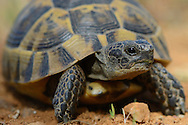 Greek Tortoise or Spur-thighed tortoise, Testudo graeca, Eastern Rhodope mountains, Bulgaria