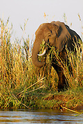 Elephants amongst the reeds on the Zambezi river Islands..Lower Zambezi National Park, Zambia, Africa..
