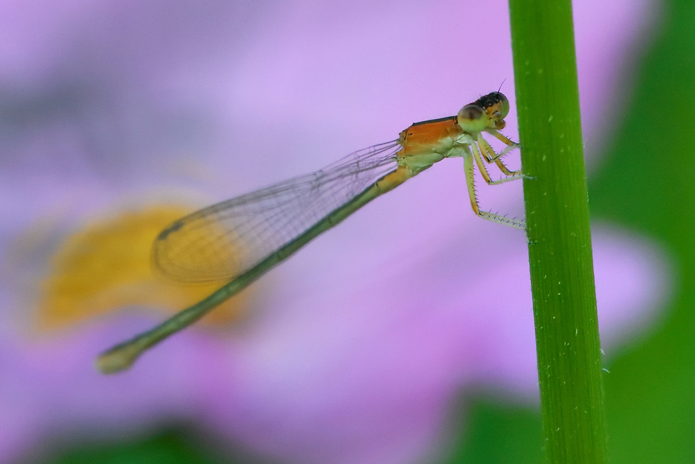 Dragonfly, sitting on a leaf, East Lake Greenway park, Wuhan, Hubei, China