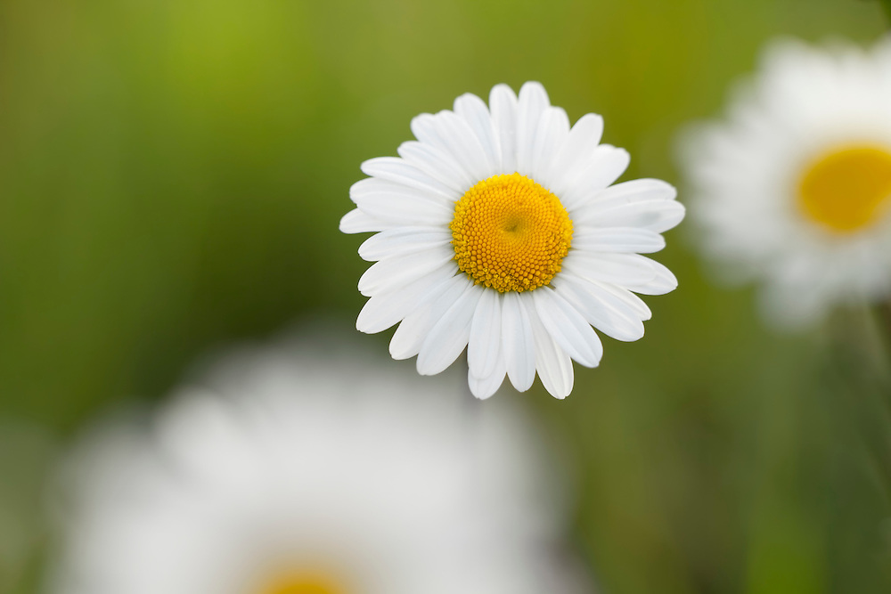 One daisy flower in flocus