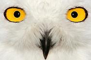 DEU, Deutschland: Schnee-Eule (Bubo scandiacus), Augentyp: Linsenauge; goldgelbe Iris, sehr gutes Sehvermoegen, auch daemmerungs- und nachtaktiv; Eulenaugen sind fest mit dem Schaedel verbunden, daher unbeweglich und somit starr nach vorn gerichtete, dadurch ist das Blickfeld der Eule sehr klein; dies wird kompensiert durch die extreme Drehfaehigkeit des Kopfes bis zu 270 Grad; Augengroesse ca. 25 mm, Lenggries, Bayern | DEU, Germany: Snowy Owl (Bubo scandiacus), type of eye: lens eye, golden yellow iris, very good sight, crepuscular and nocturnal, owl eyes are fixed in their sockets, and they must turn their entire head to change views, extremely turnable of  up to 270 degree, Lenggries, Bavaria