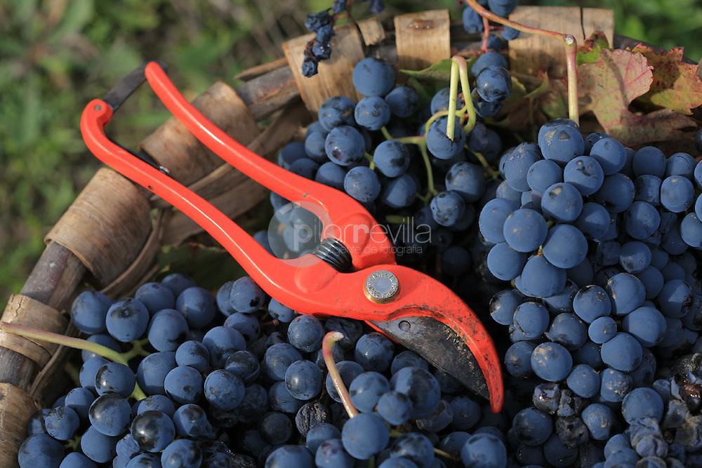 Cesta de uva tinta y tijeras. La Rioja ©Daniel Acevedo / PILAR REVILLA