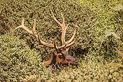 Roosevelt Elk (Cervus canadensis roosevelti) -  midday at Prairie Creek Redwoods State Park, CA