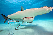 Great Hammerhead Shark, Sphyrna mokarran, swims over the sandy flats offshore South Bimini, Bahamas, North Atlantic Ocean. IUCN Red List Image available as a premium quality aluminum print ready to hang.
