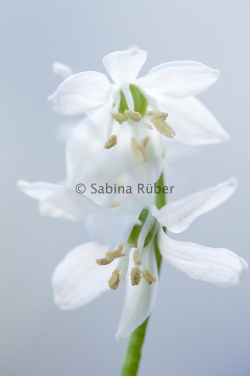 Scilla siberica 'Alba' - white Siberian squill