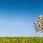 Cherry tree isolated, countryside in springtime, Vaud, Switzerland
