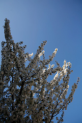 UK ENGLAND LONDON 28MAR12 - Cherry blossom in Portnall Road, West London during a sunny spring day.....jre/Photo by Jiri Rezac....© Jiri Rezac 2012