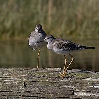 Lesser Yelloowlegs. Broughton archipelago, British Columbia
