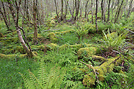 Woodland habitat surrounding beaver lochs showing diversity of vegetation and structure, Knapdale Forest, Argyll, Scotland.
