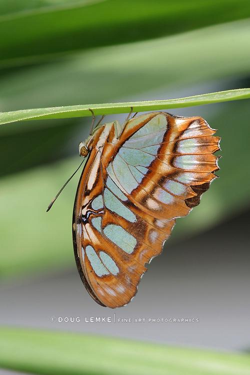 Butterfly, Malachite, Siproeta Stelenes, Resting On The Underside Of A Leaf