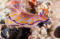Colorful Nudibranch (Sea Slug) stretching for its next perch<br /> <br /> Shot in Indonesia