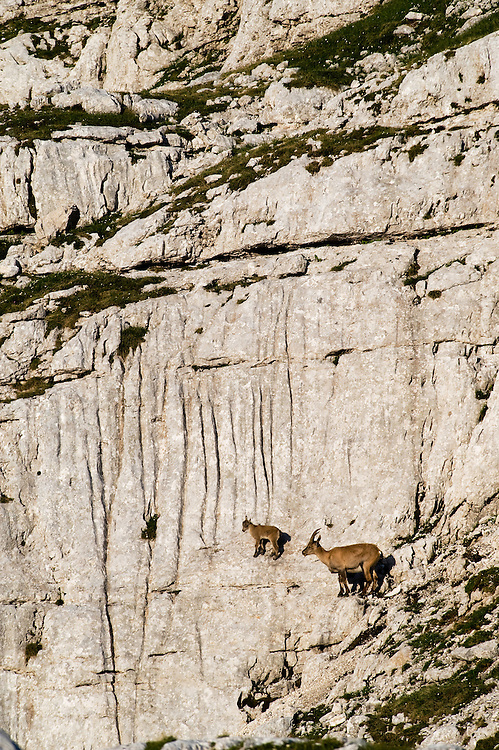 Ibex (Capra ibex) climbing<br /> Julian Alps<br /> Triglav National Park, Slovenia<br /> July 2009