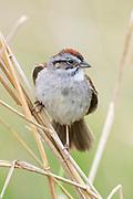 Swamp Sparrow, Melospiza georgiana, male, Tuscola County, Michigan