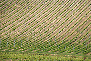 vineyard in France the Languedoc France in the spring