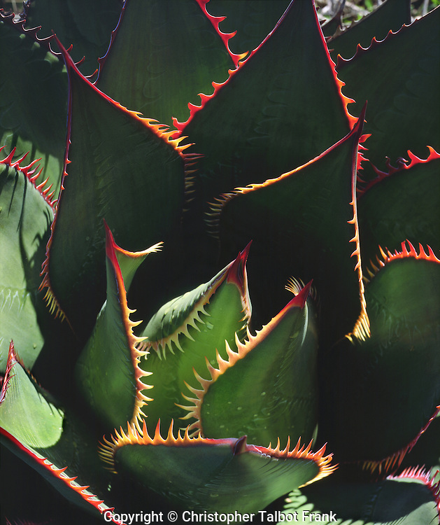 USA, California, Torrey Pines State Park.  Patterns of an Agave plant.
