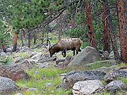 Elk, Rocky Mountain National Park, Colorado