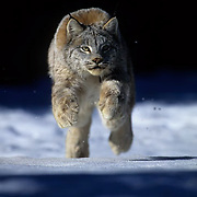 Canada Lynx, (Lynx canadensis) Adult leaping. Rocky mountains. Montana. Winter.  Captive Animal.