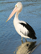 Australian Pelican on Coalmine Beach, Walpole-Nornalup National Park, in southern Western Australia. The Australian Pelican (Pelecanus conspicillatus), also known as the Goolayyalibee, is widespread on the inland and coastal waters of Australia and New Guinea. Compared to other pelican species, they are medium-sized: 1.6 to 1.8 m (5.25 to 6 ft) long with a wingspan of 2.3 to 2.5 m (7.6 to 8.25 ft) and weighing between 4 and almost 7 kg (9 to 15 lbs). They are predominantly white, with black and white wings and a pale, pinkish bill which, like that of all pelicans, is enormous, particularly in the male.