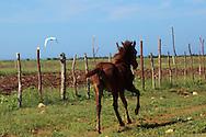 Pony in Caletones, Holguin, Cuba.
