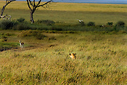 Lioness hunting, using cover of long grass, Serengeti National Park, Tanzania. Thompson gazelle.