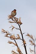 Welcome Swallow, Waituna Wetlands, New Zealand