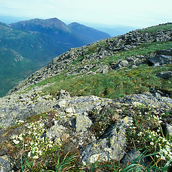 Mountain sandwort on the ridge above the Great Gulf.  Great Gulf Trail.  Biggest cirque in the White Mountains National Forest. Northern Presidentials. Mt. Washington, NH