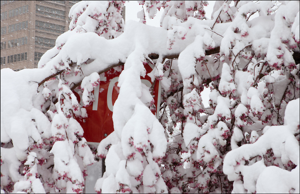 Heavy wet snow weighs down blooming tree limbs over a Stop sign in early April near Denver, CO.