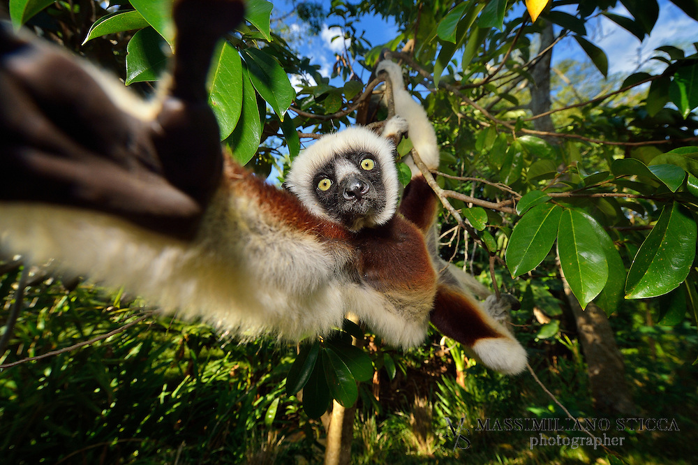 Verreaux's sifaka (Propithecus verreauxi), or the white sifaka, is a medium sized primate in one of the lemur families, Indriidae. It lives in Madagascar and can be found in a variety of habitats from rainforest to western Madagascar dry deciduous forests and dry and spiny forests. The fur is thick and silky and generally white with brown on the sides, top of the head, and on the arms. Like all sifakas, it has a long tail that it uses as a balance when leaping from tree to tree. However, its body is so highly adapted to an arboreal existence that on the ground its only means of locomotion is hopping. The species lives in small troops which forage for food.