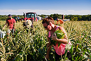 27 JULY 2020 - CARLISLE, IOWA: AMY RODGERS, and others, glean sweet corn on the Butcher Creek Farm in Carlisle. Volunteers from Eat Greater DSM gleaned sweet corn in the fields on the farm. The corn was packaged and will be distributed to Des Moines emergency pantries, community centers, and churches this week. Gleaning is the act of collecting leftover crops from farmers' fields after they have been commercially harvested or gathering crops from fields where it is not economically profitable to harvest. It is an ancient tradition first described in the Hebrew Bible. A spokesperson for Eat Greater DSM said food assistance need has skyrocketed this year. In a normal year, they distribute about 300,000 pounds of food. Since the start of the COVID-19 pandemic in March, they've distributed more than 500,000 pounds of food.        PHOTO BY JACK KURTZ