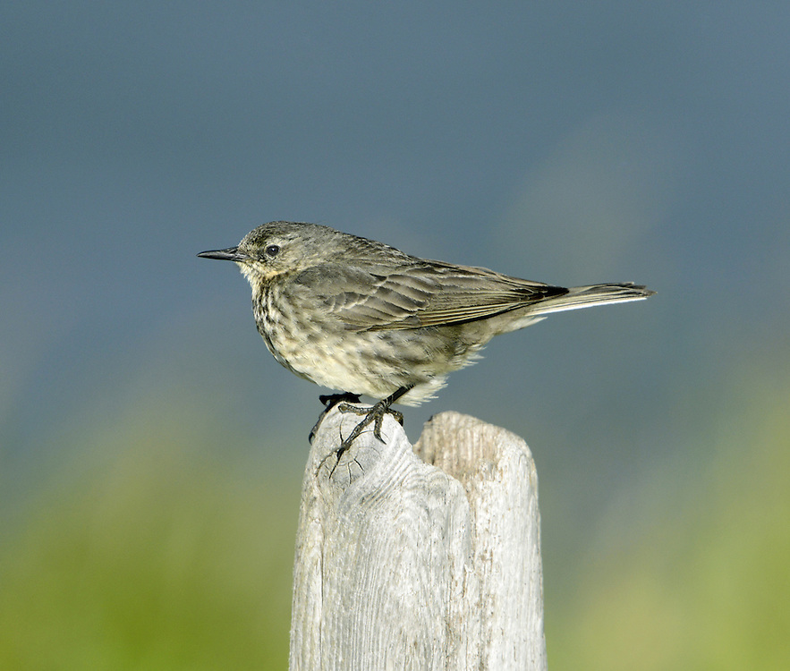 Rock Pipit Anthus petrosus L 16-17cm. Bulky, dark pipit invariably found within sight of sea. Sexes are similar. Adult and juvenile have streaked dark grey-brown upperparts and rather grubby yellowish underparts, heavily streaked on breast and flanks. Throat is pale and note indistinct pale supercilium and eyering, and dark sub-moustachial stripe. Legs and bill are dark and outer tail feathers are grey. Voice Utters a single pseet call. Meadow Pipit-like song is delivered in flight; starts and ends on a cliff-side rocky outcrop. Status Locally common resident, found on rocky coasts and cliffs in summer; commonest in N and W. More widespread, but still coastal outside breeding season.