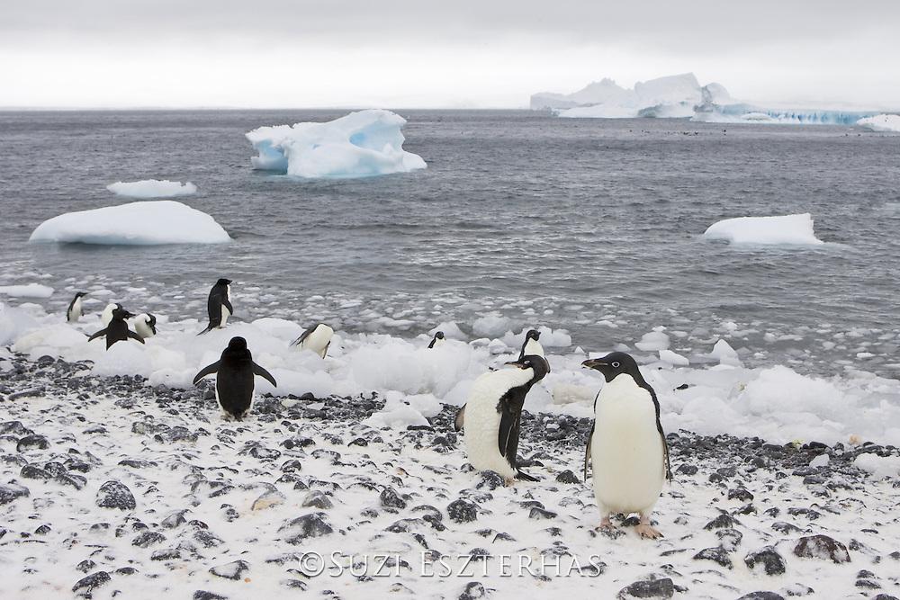 Adelie Penguin<br /> Pygoscelis adeliae<br /> On iceberg<br /> Paulet Island, Antarctica