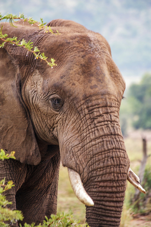 A close up view of an elephant in an African game park.